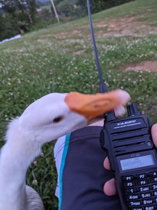 Goose attacking ham radio